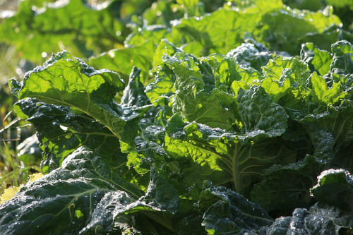 Collard greens - Collard greens are rich in folate, calcium, dietary fiber, and Vitamins A, Vitamin C, Vitamin E and Vitamin K. Vitamin K is very helpful in the strengthening and building of bones. Collard greens are also a good source of iron, which helps prevent anemia.