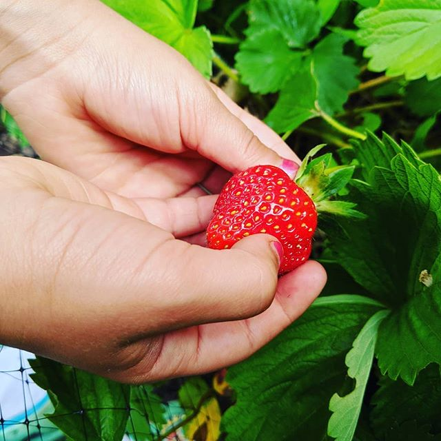 Our little chefs picking our first strawberries of the season! 🍓#edibleeducation #cookingcrewschool #kidswhogarden #kidswhocook #strawberries