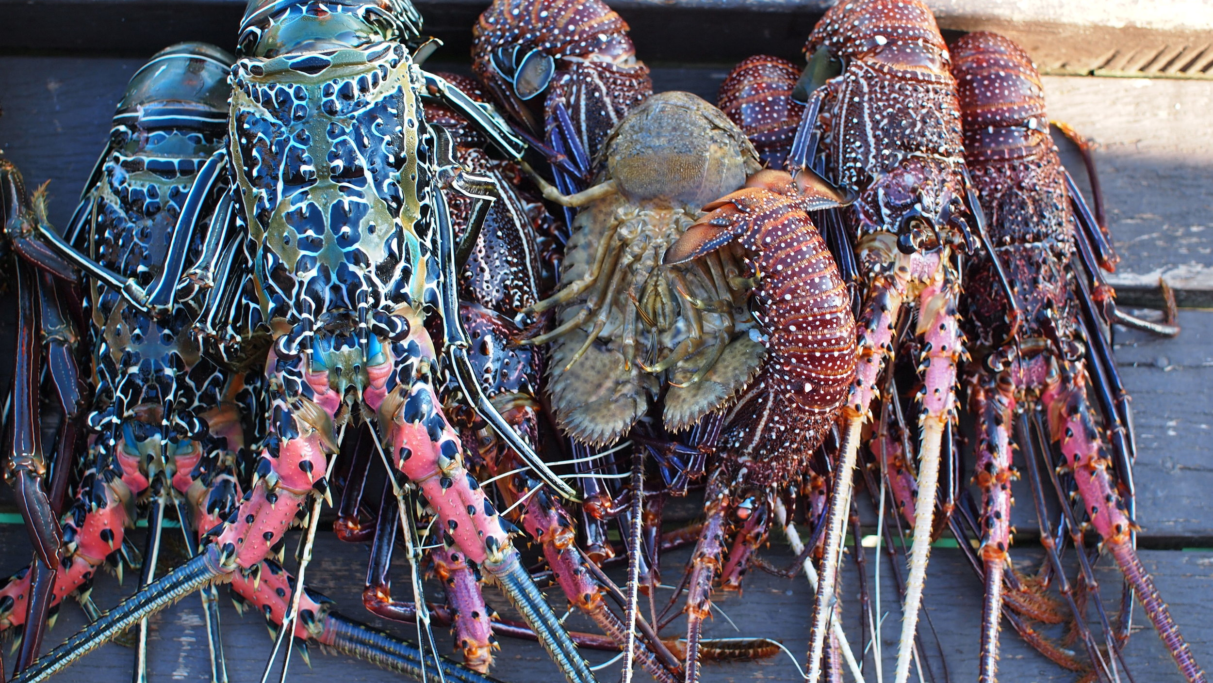 Colourful crays of the Solomon Islands (image by Jacqui Gibson).