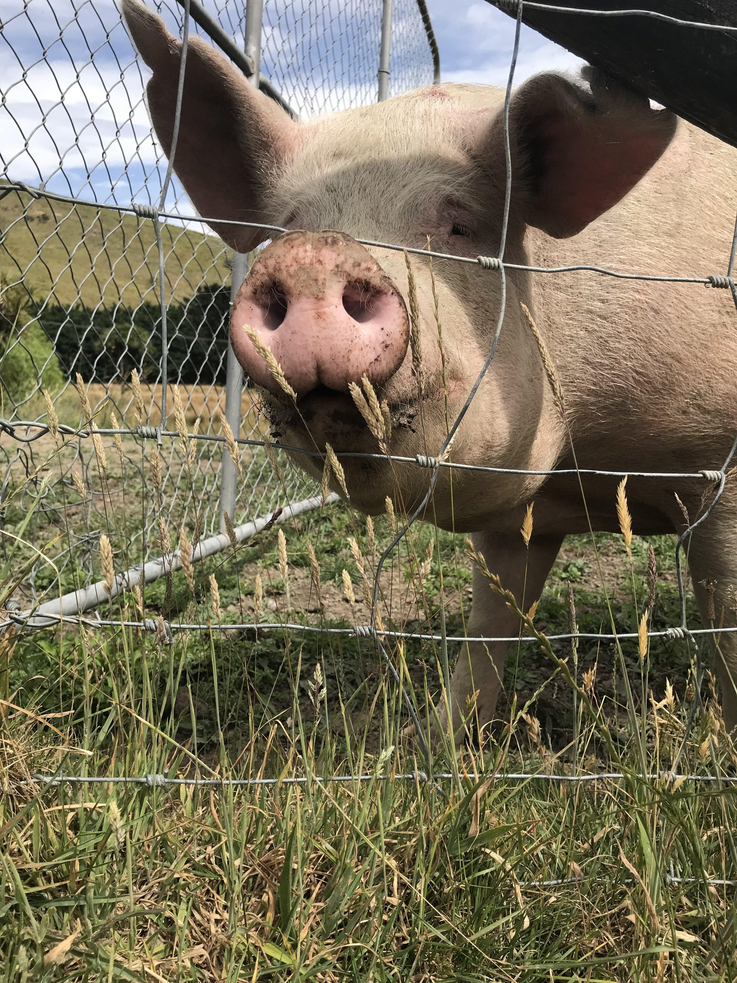 Pig, Wairarapa (image by Jacqui Gibson).