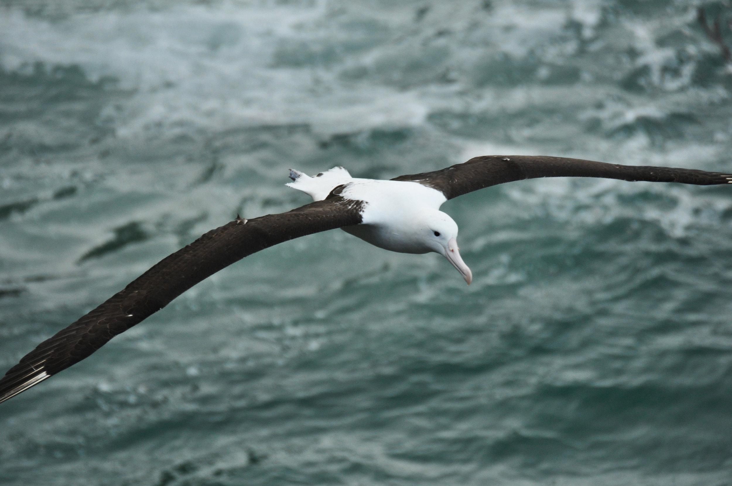 Royal Albatross, Otago, New Zealand (image care of the Royal Albatross Centre).