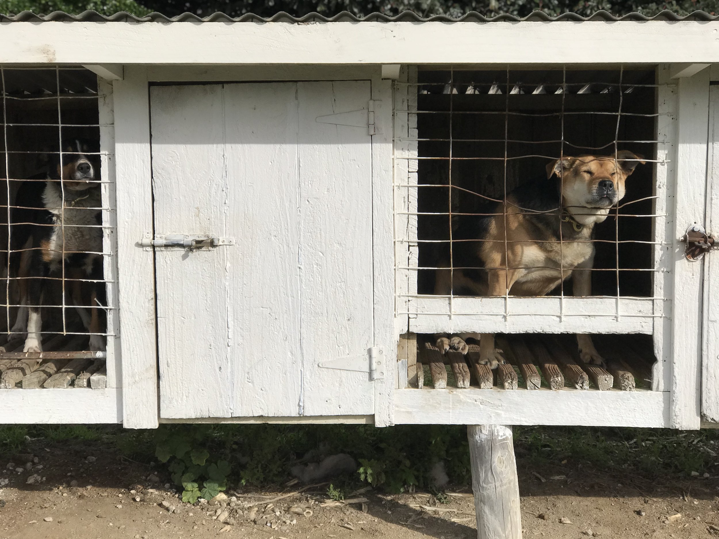 Orui Station farm dogs (image by Jacqui Gibson).
