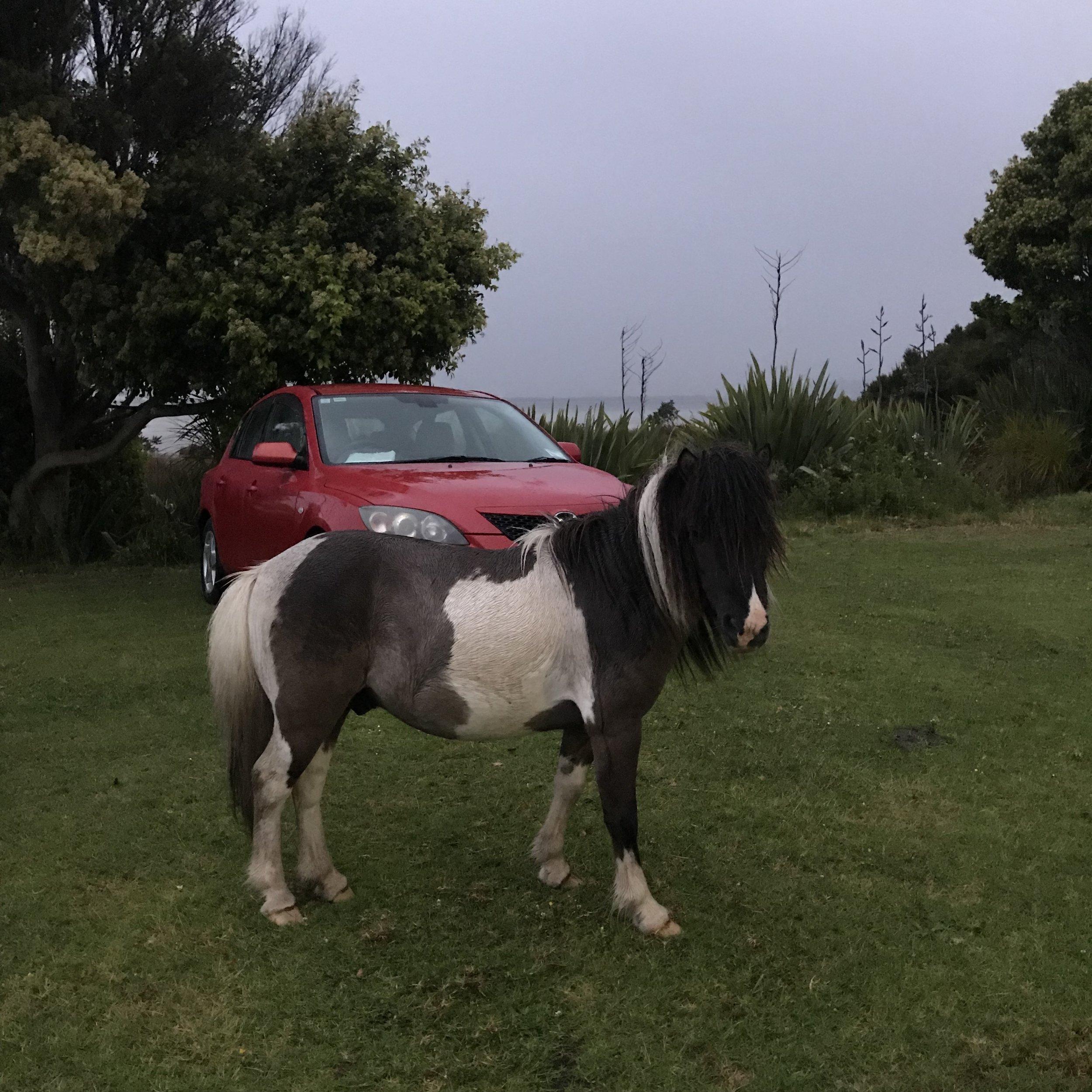Te Hapua pony (image by Jacqui Gibson).