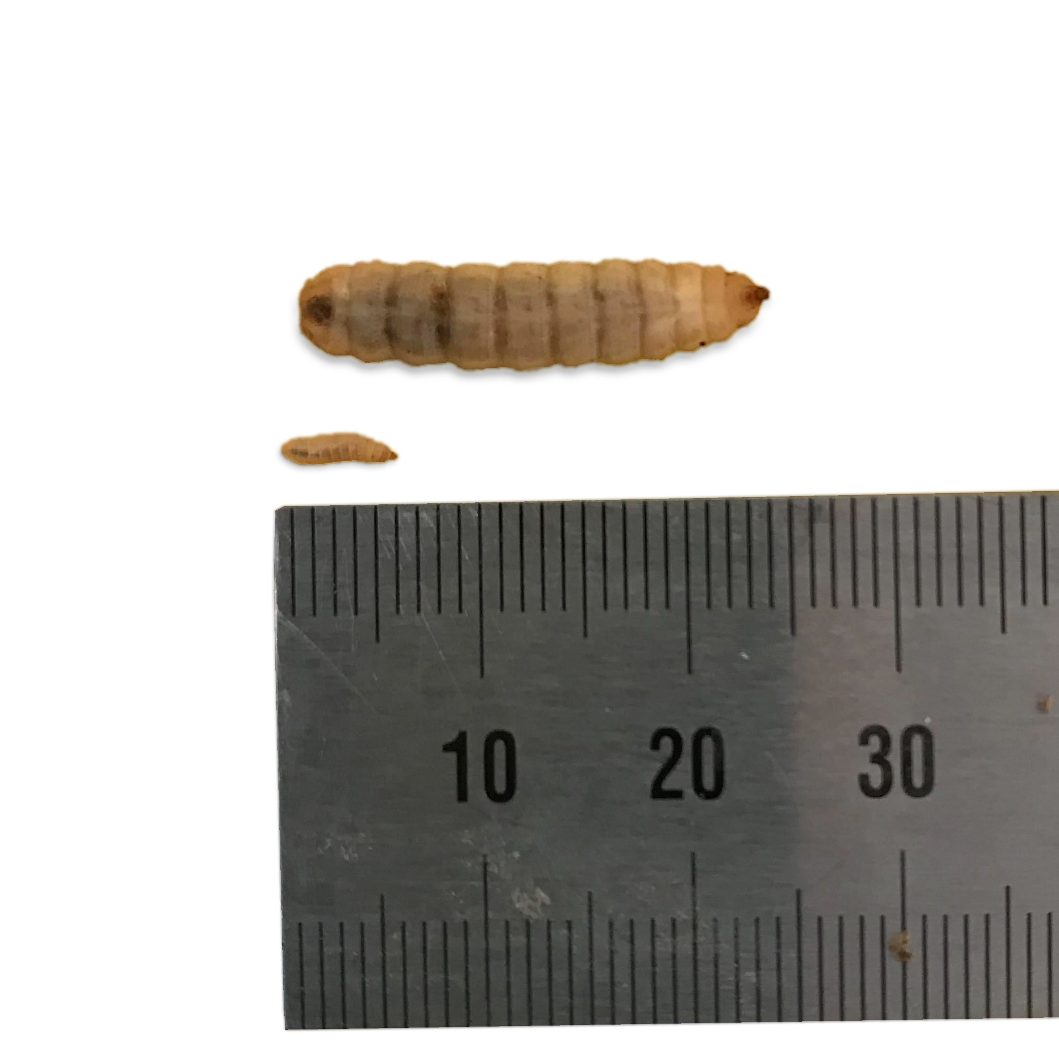 190725 Small big larvae.jpg