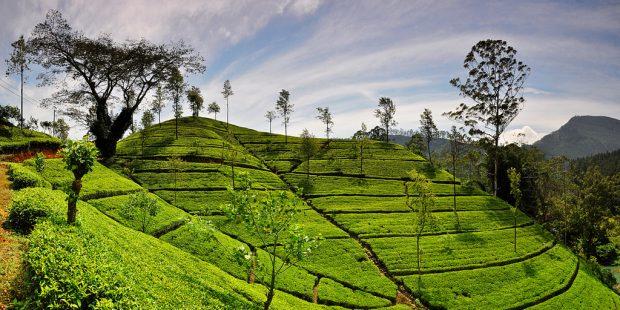 Tea-Plantation-e1507702002837.jpg