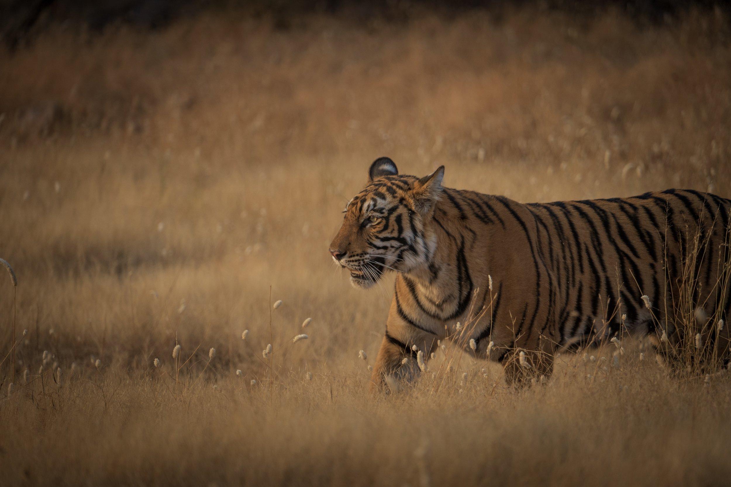 RanthamboreNational Park - An epic safari to capture India's majestic Royal Bengal TigersDecember 2018
