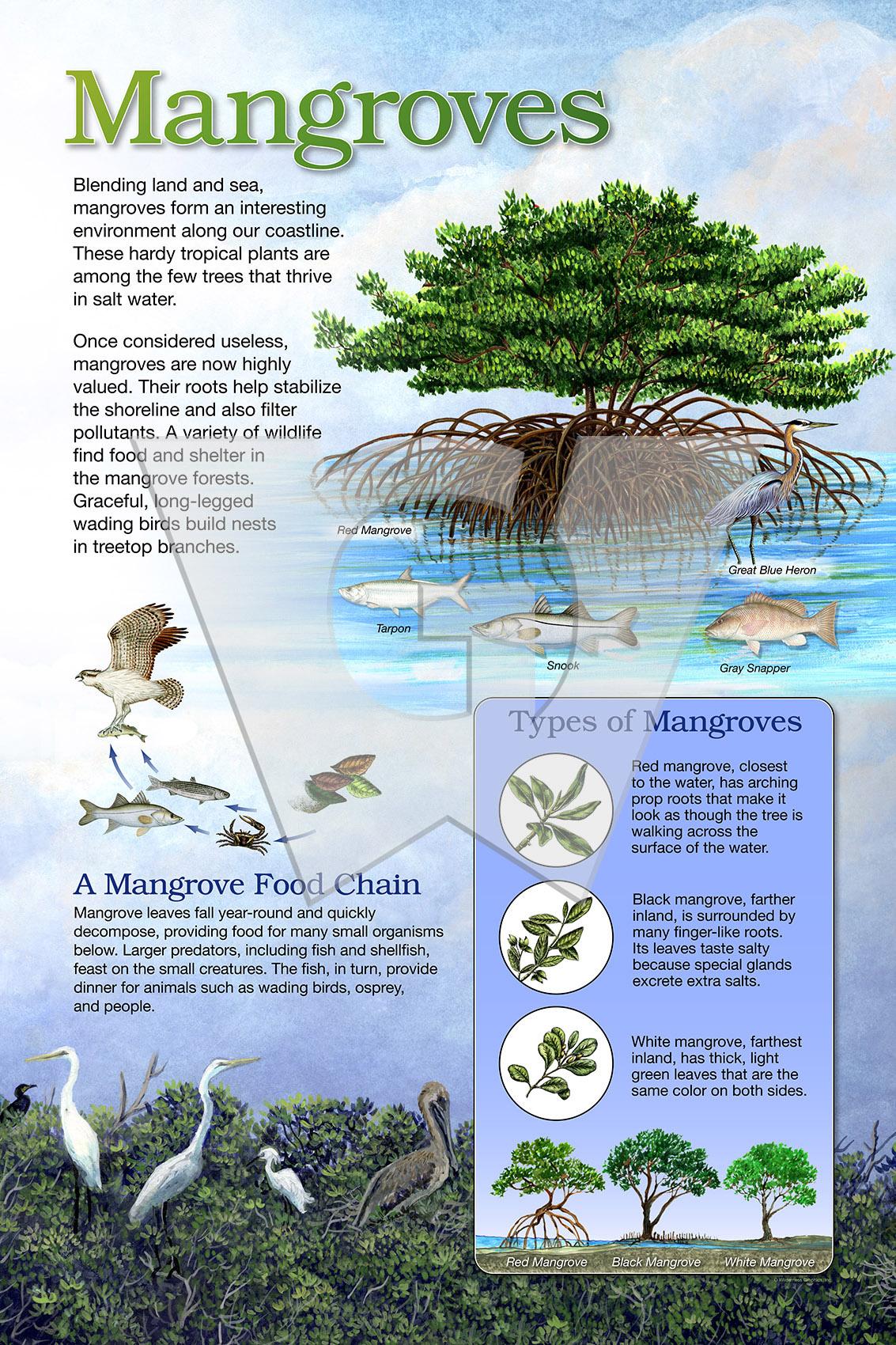 Mangroves 2x3 Std WGI.jpg