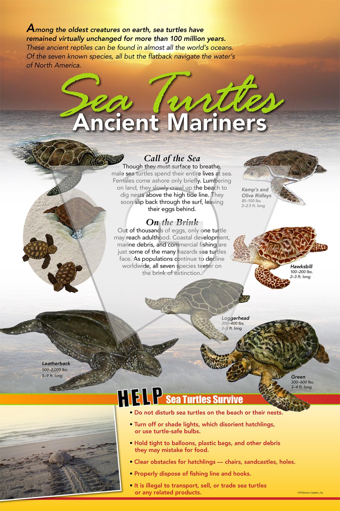 Sea Turtles 2x3 Std WGI.jpg
