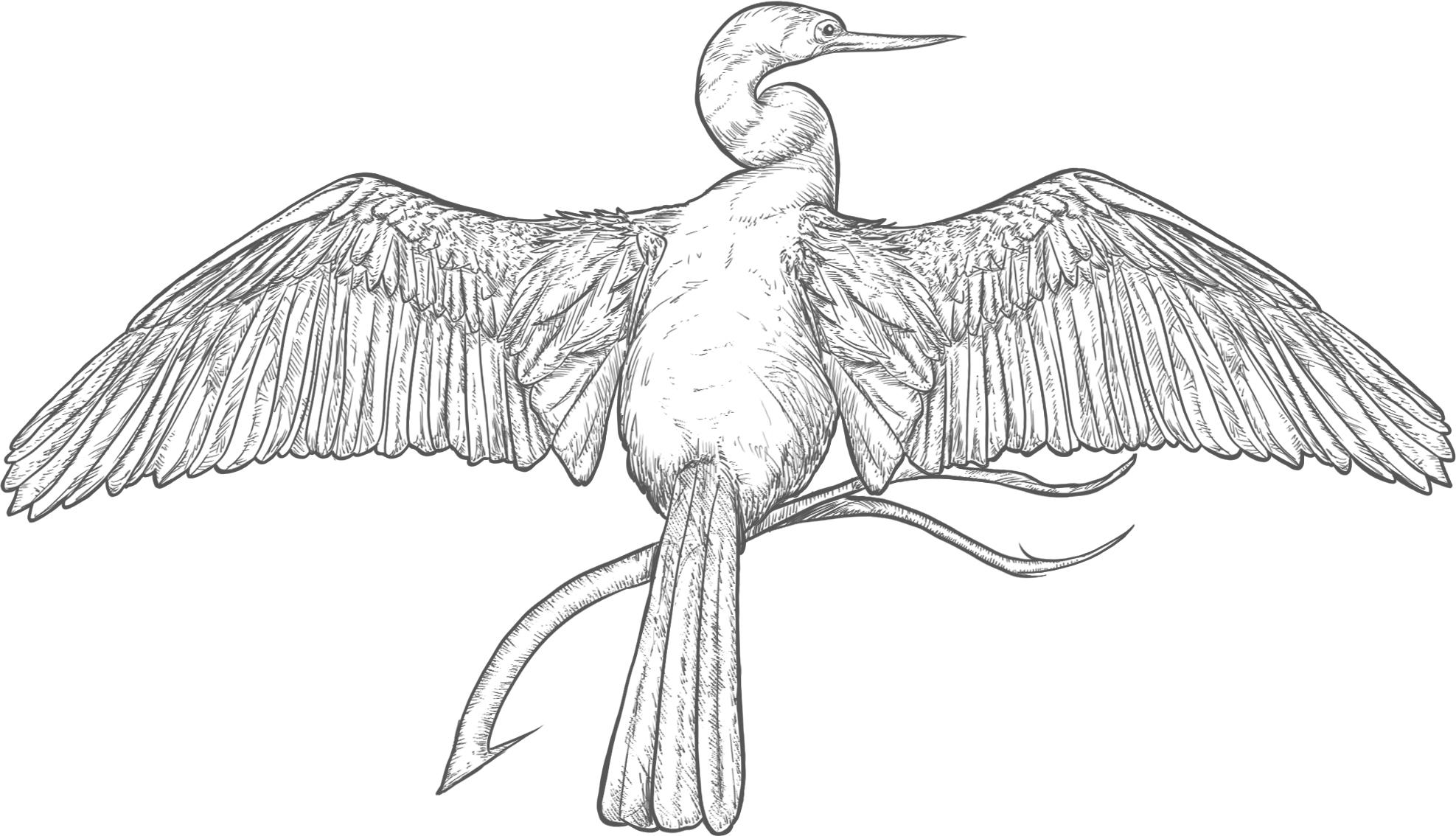 AnhingaBird.jpg