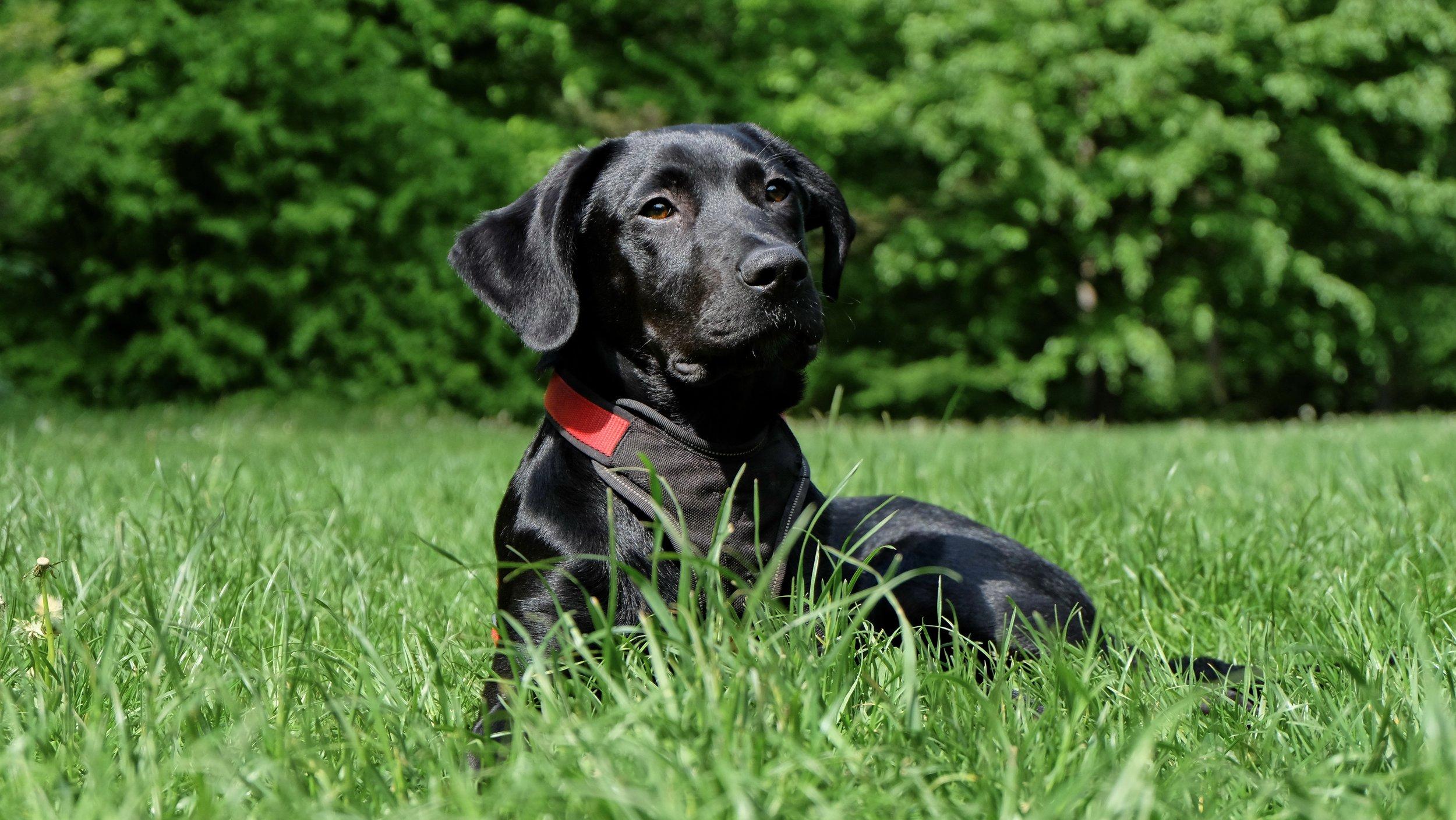 dog-black-labrador-black-dog-162149.jpeg