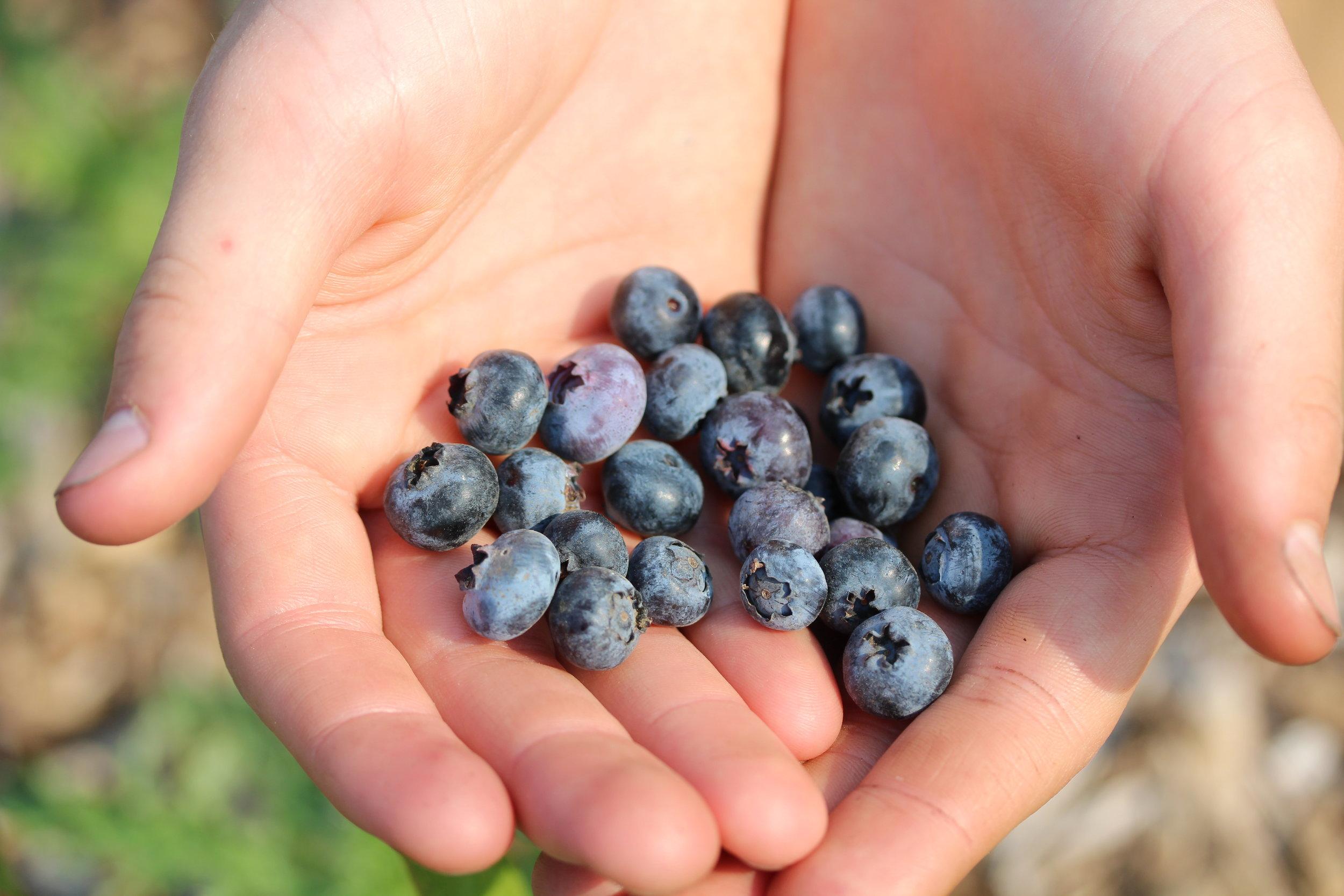 Andrea Miller - Blueberries.jpg