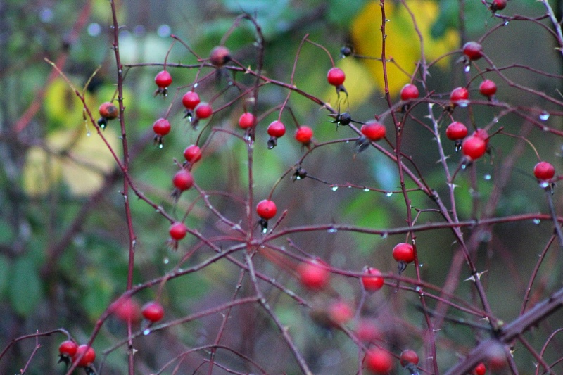 Red rose-hips add a bit of bright color along the forest edge as we head into winter.