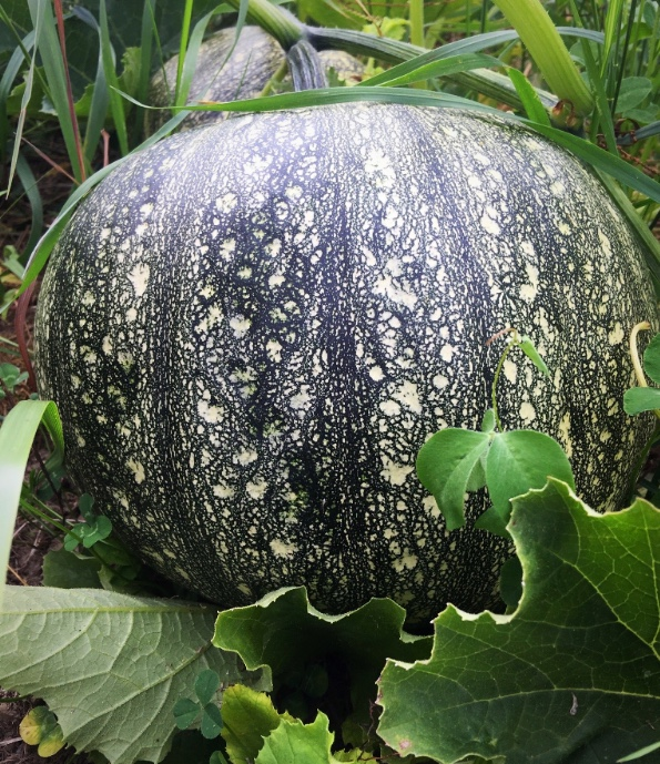 Still to come - Pumpkins! We have several types of pumpkins in the fields - both pie pumpkins and some larger jack-o-latern types. They are getting pretty big! Now we just need a dry September so they can stay in the field to ripen to a glorious fall orange.