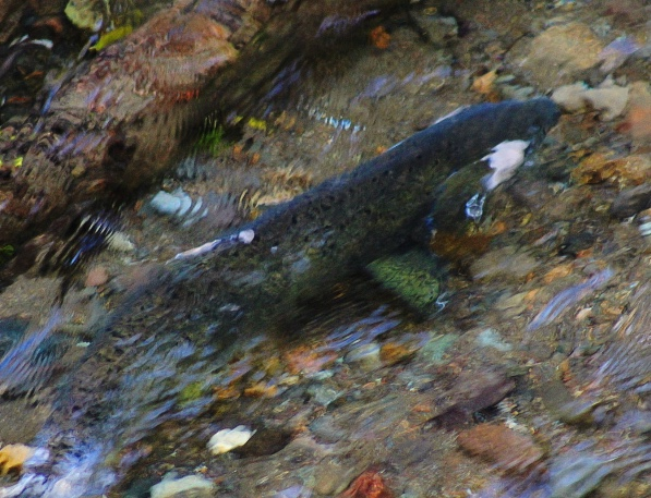 Chinook Salmon in the North Fork of the Skokomish River