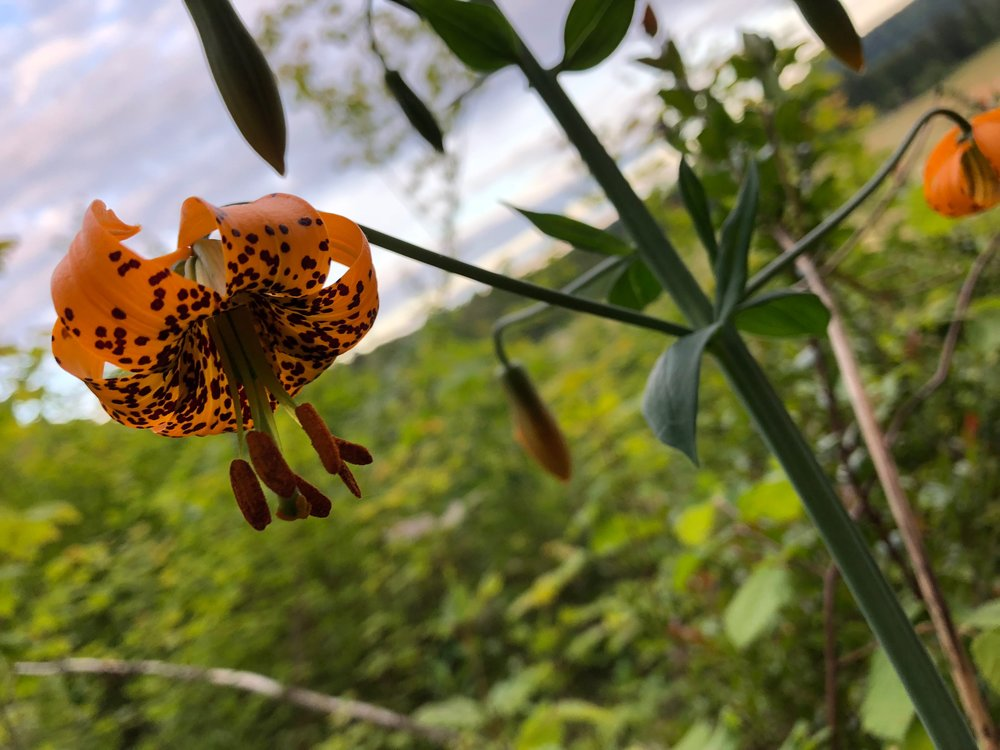 The Western Tiger Lilies are blooming in the woods. This plant is a giant - it has 12 blossoms on in it and stands more than three feet tall.