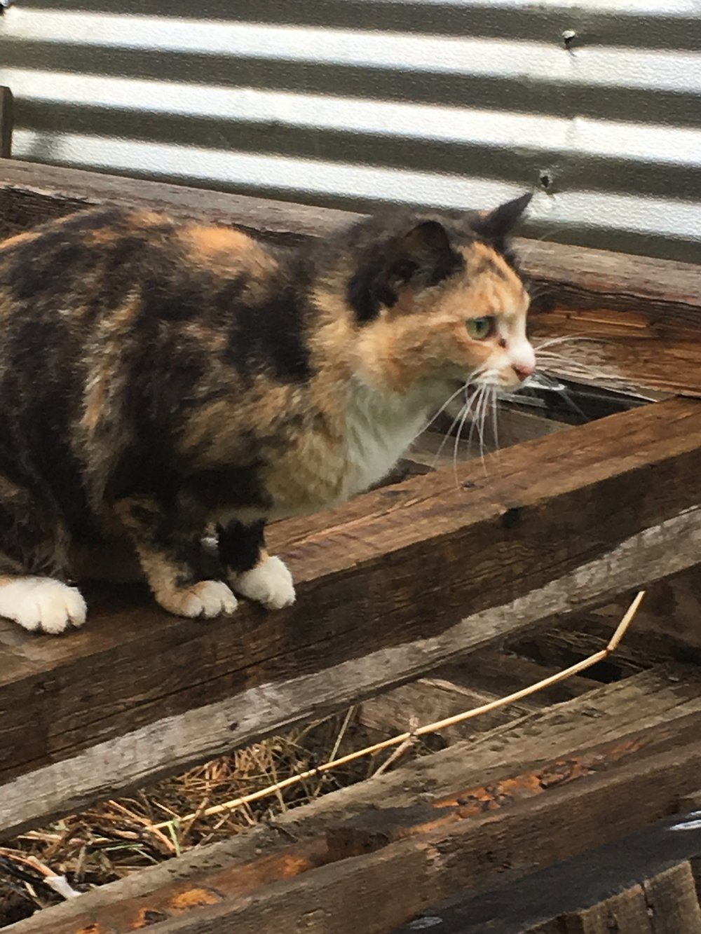 Our resident mouser, Patches, on her rounds near the barn.