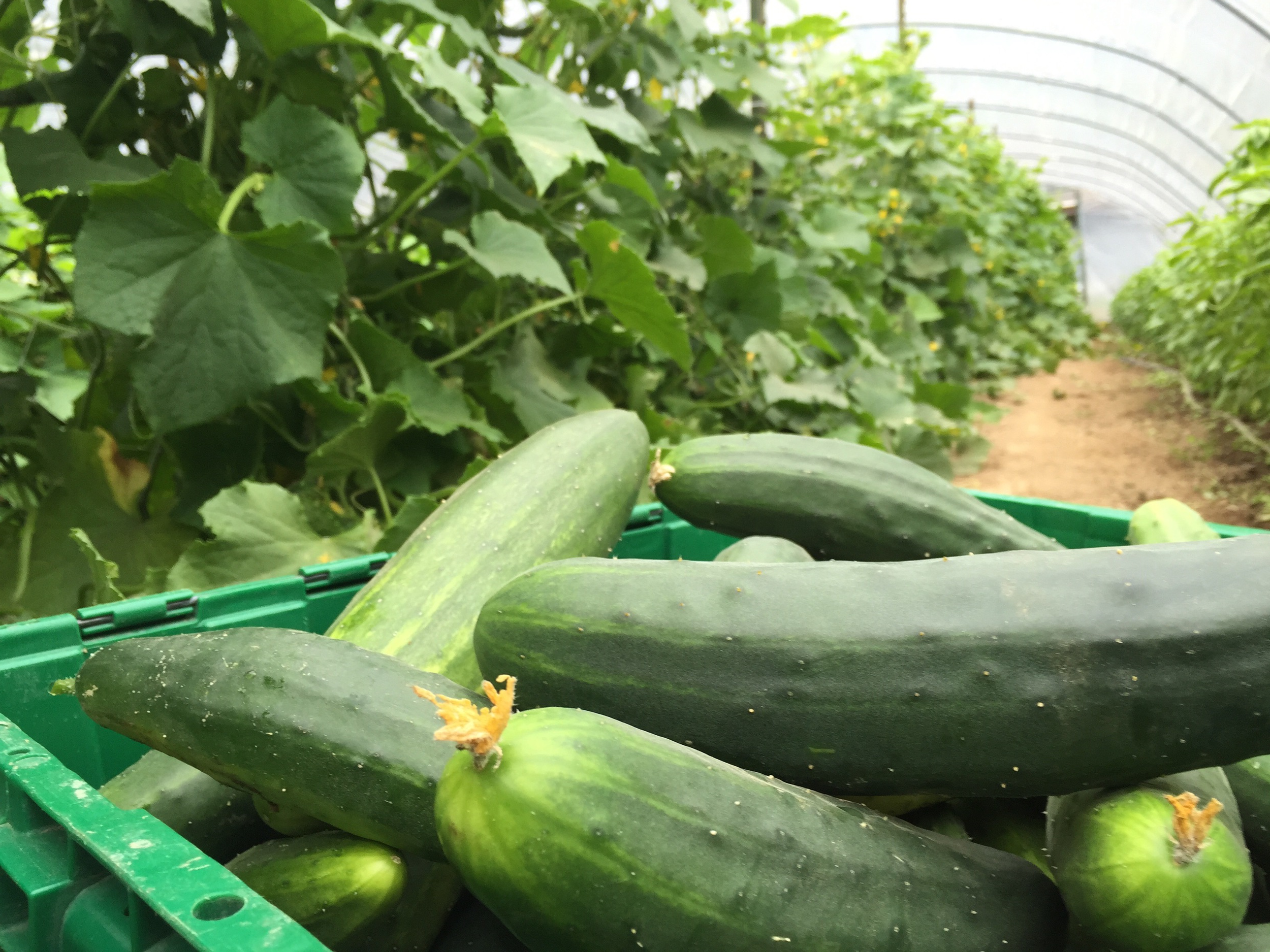Farm photo collecting cucumbers in a hoop-house. An effort to show what goes into providing healthy food to community.