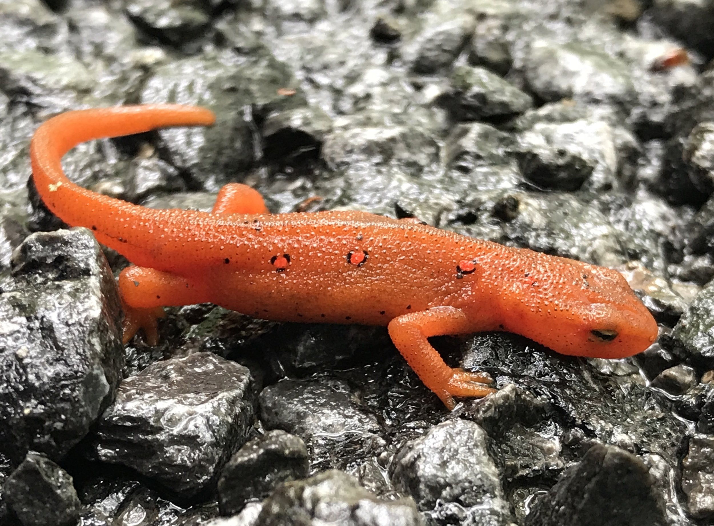 Sadly, this newt may have been dead, trapped on fresh paved asphalt.