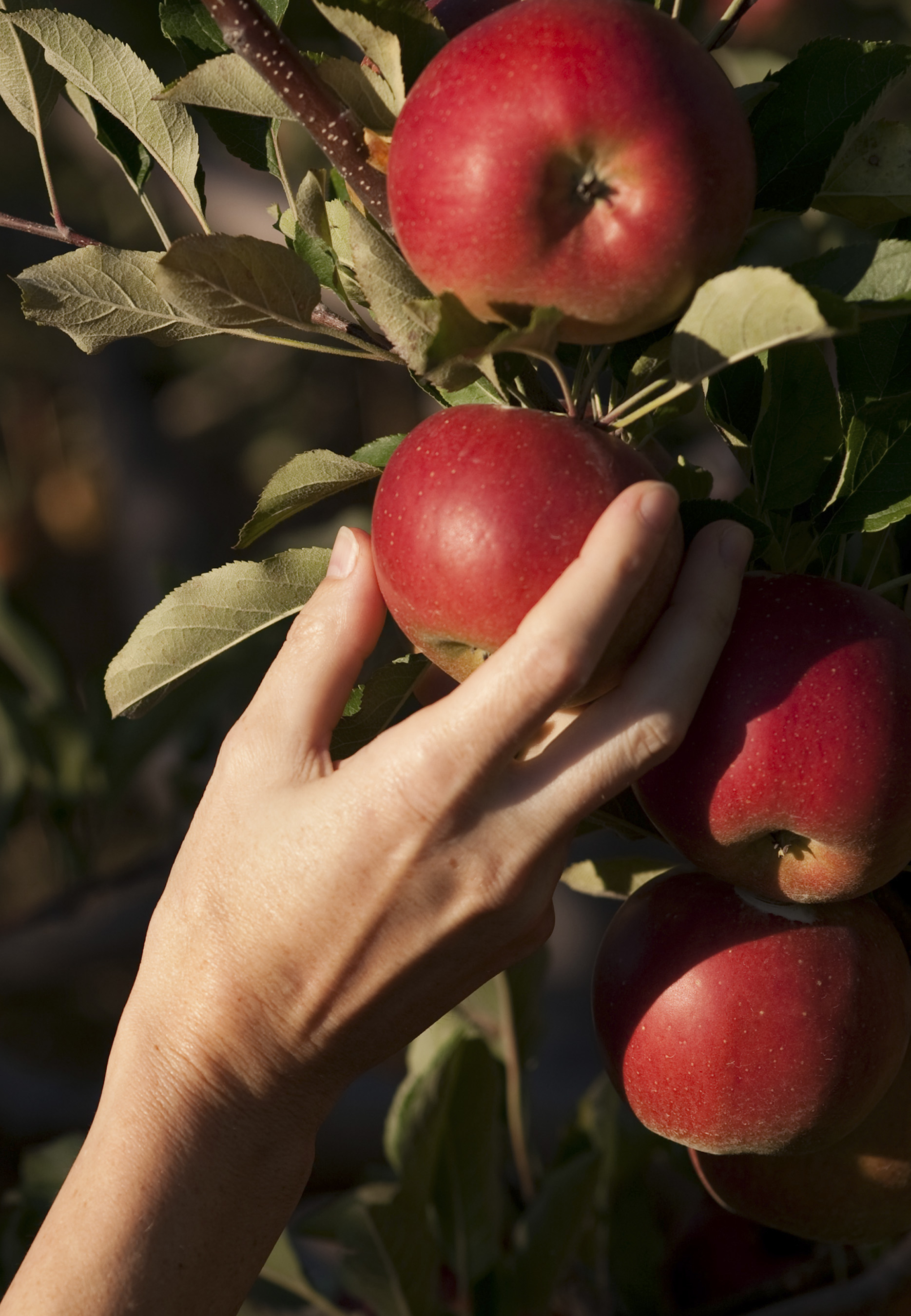 apples_7820cn.jpg