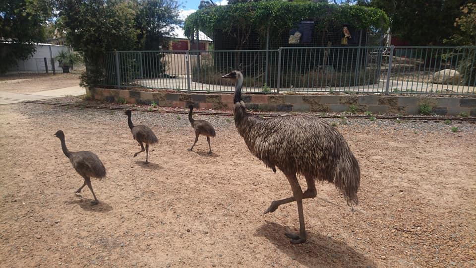 世界で2番目に大きい鳥「エミュー」の赤ちゃんが流石に早くも大きくなっています!
