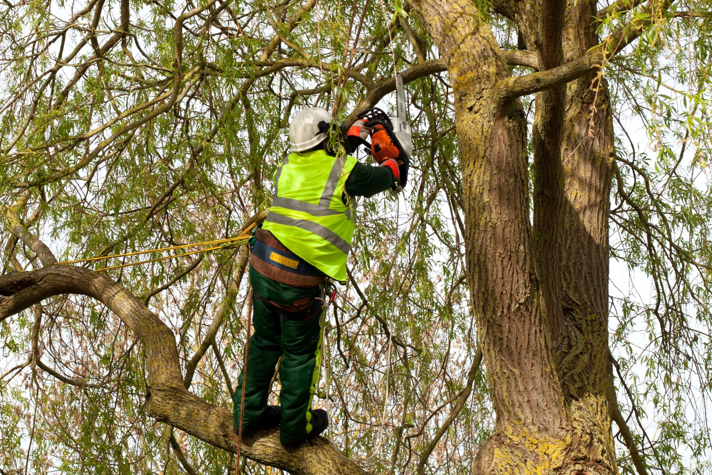 tree-surgery-pruning-feling.JPG