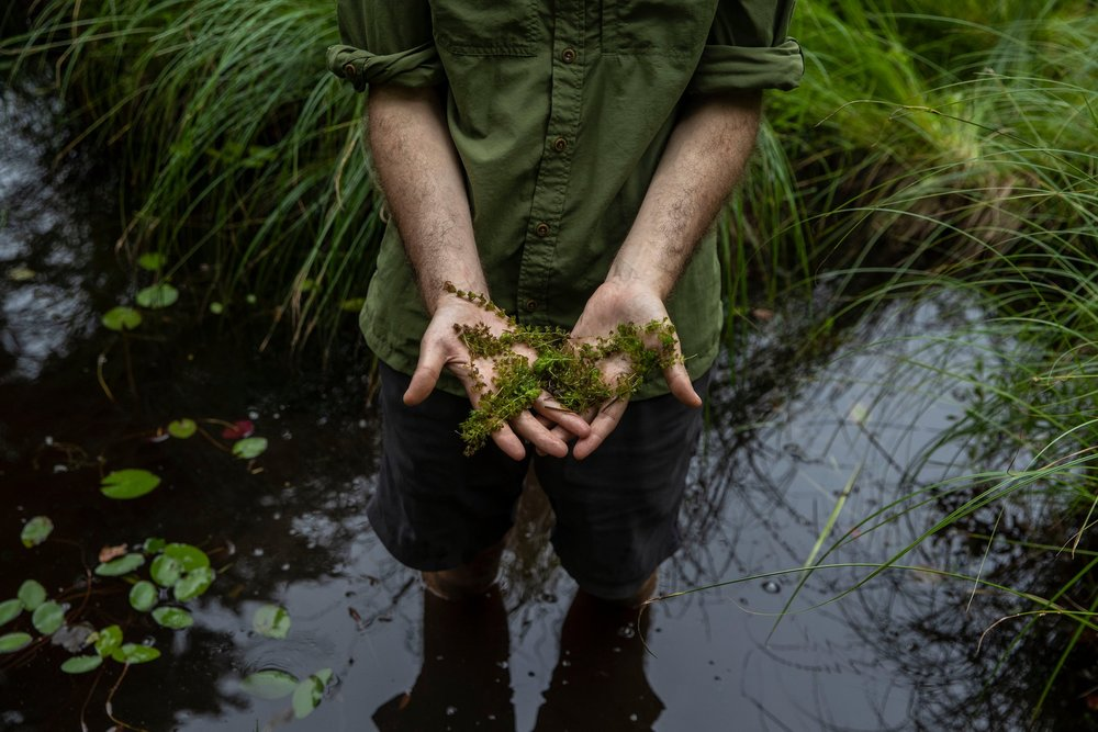 Michael Tessler, a biologist at the American Museum of Natural History, holding waterwheels, a carnivorous aquatic plant, in Big Pond near New York's Catskill Mountains.   Photo Credit: Brittainy Newman/The New York Times