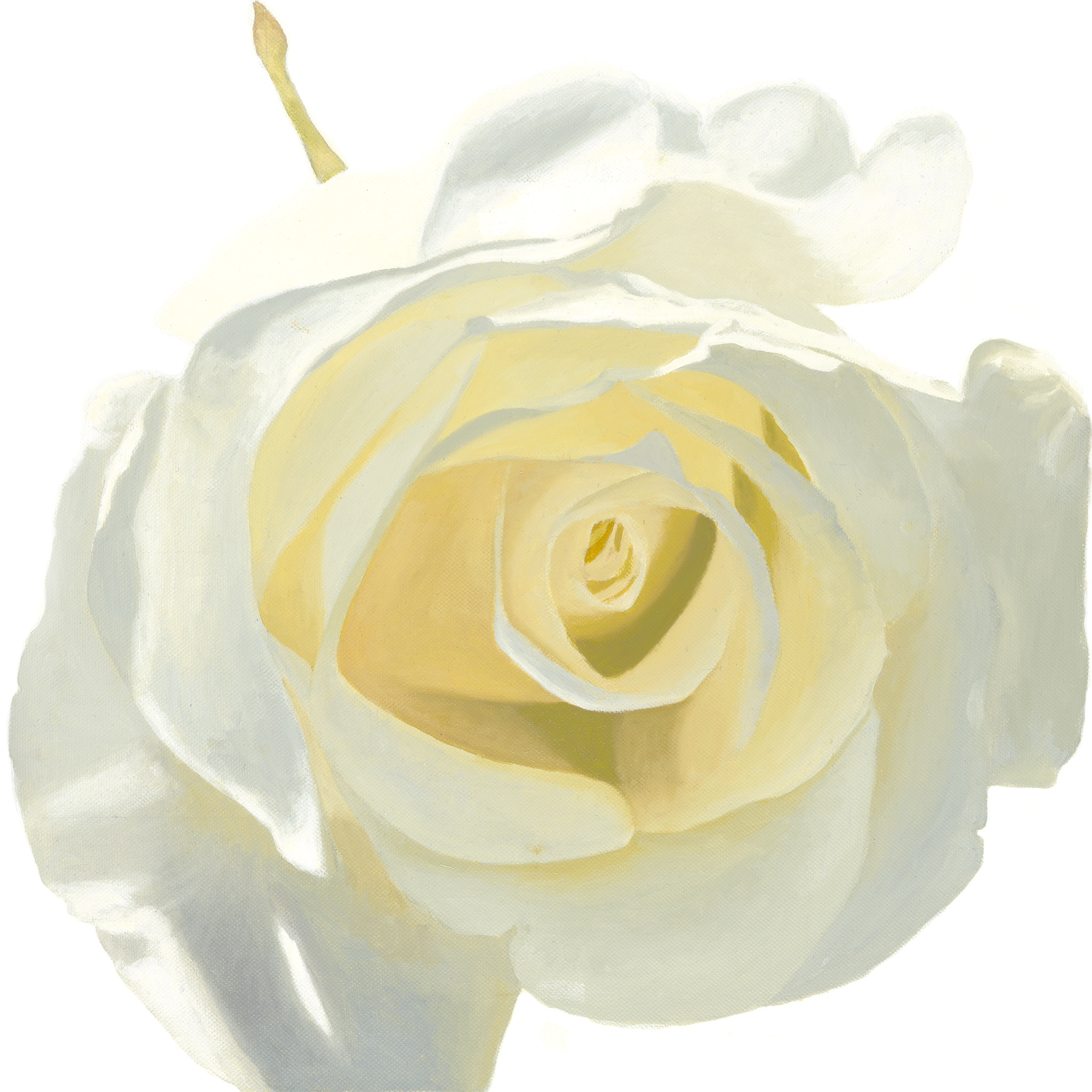La Rose BLANCHE OIL Painting and Prints