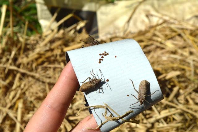 Squash Bugs.jpg