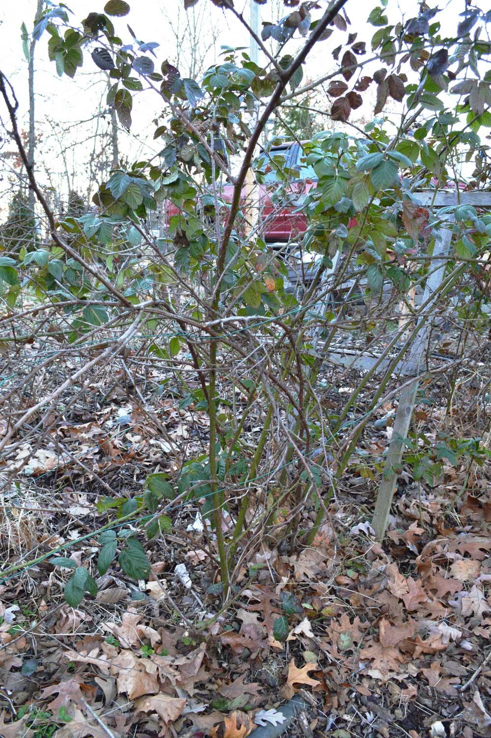 Blackberries-before-pruning-garden.jpg
