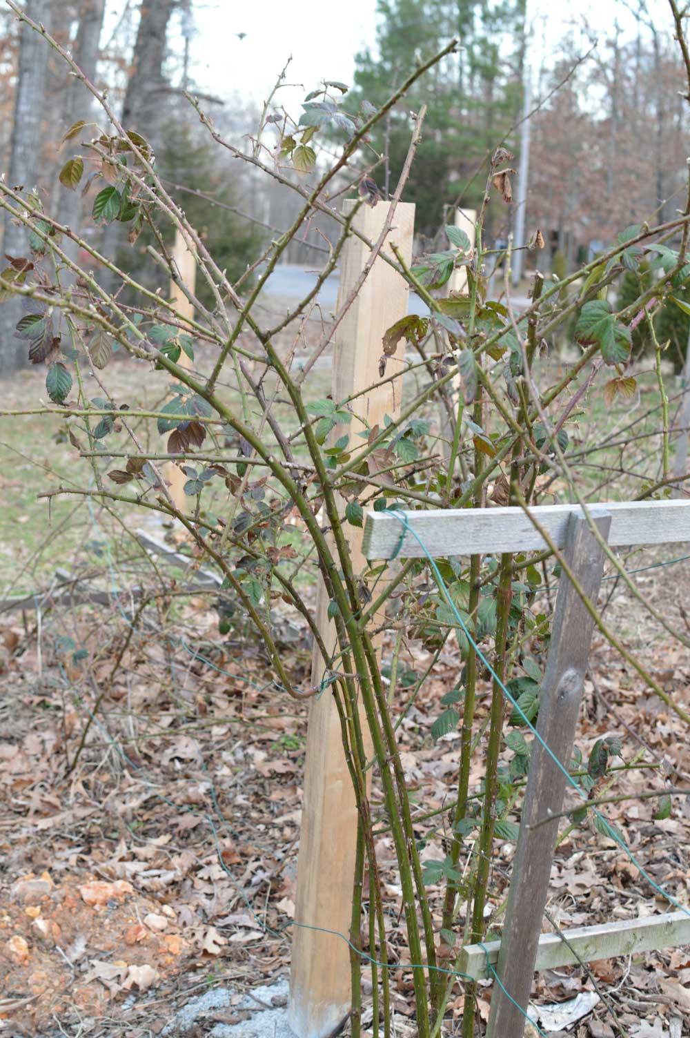 Blackberries-after-pruning-laterals.jpg