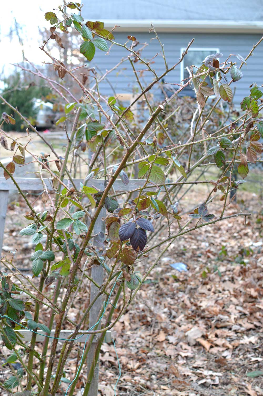 Kiowa-after-pruning.jpg