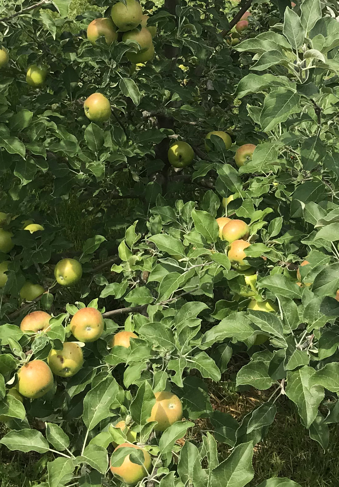 How to Plant an Apple Tree.jpg