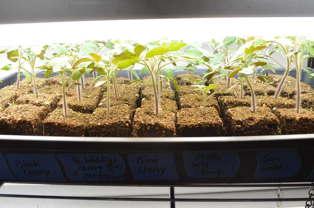 TomatoSeedlings.jpg