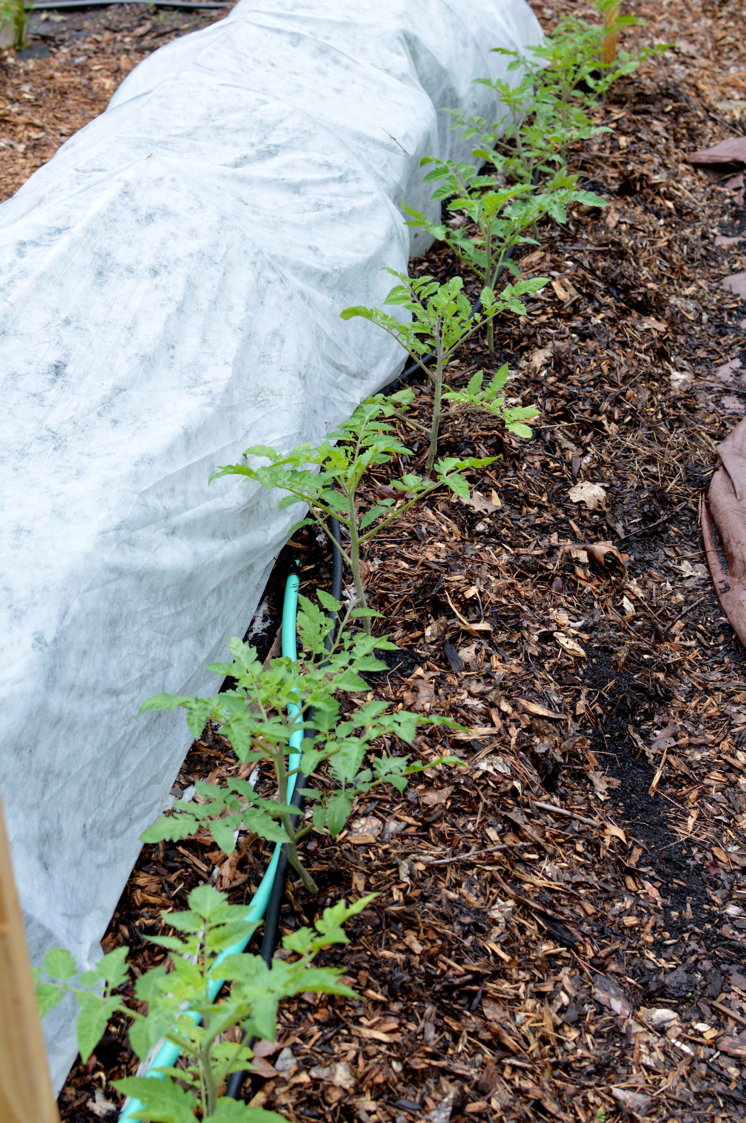 Row cover over kale. (Tomatoes were planted next to the kale to make the most of space.)