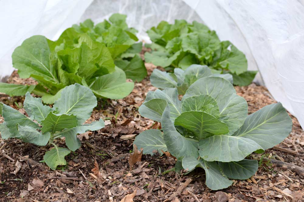 Cabbage Under a Row Cover.jpg
