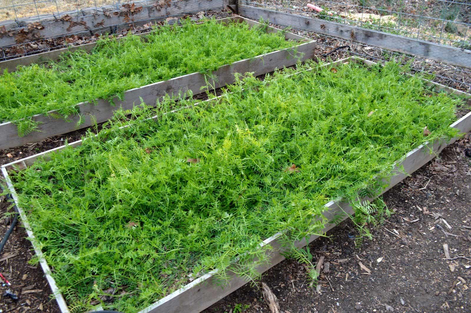 Hairy-Vetch-Cover-Crop-Home-Garden.jpg
