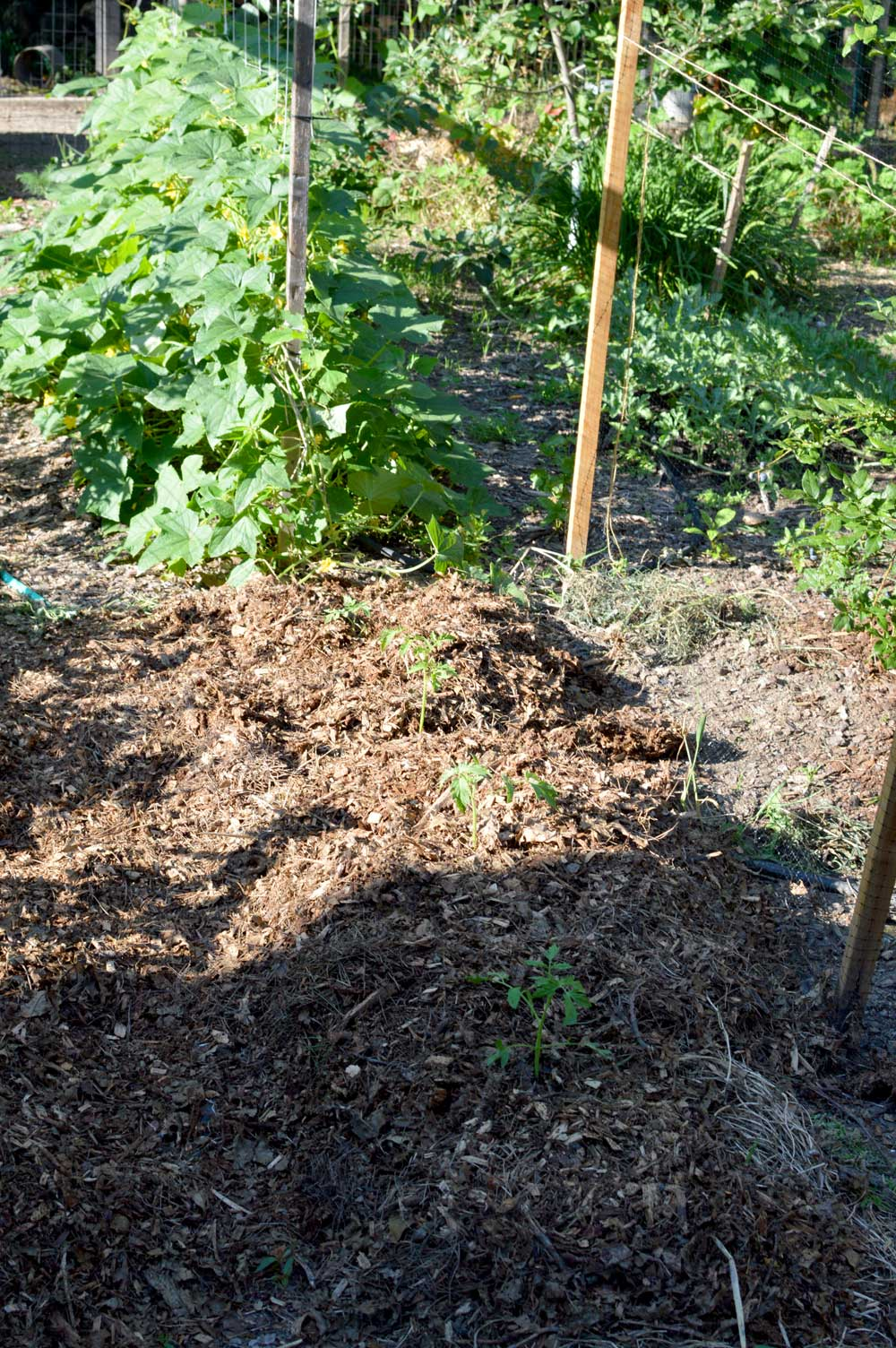 succession planting of tomatoes