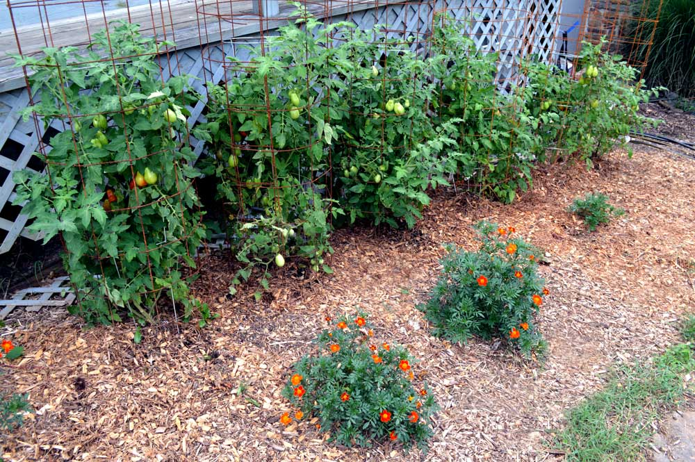 Tomatoes in Flower Beds along the side of my House