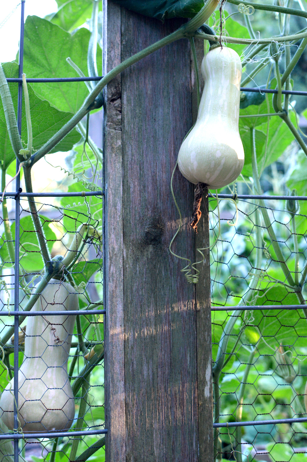 Butternut Squash. Growing it up the fence this year.