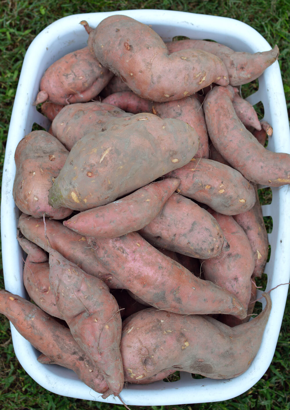 Sweet-Potato-Harvest-2019.jpg