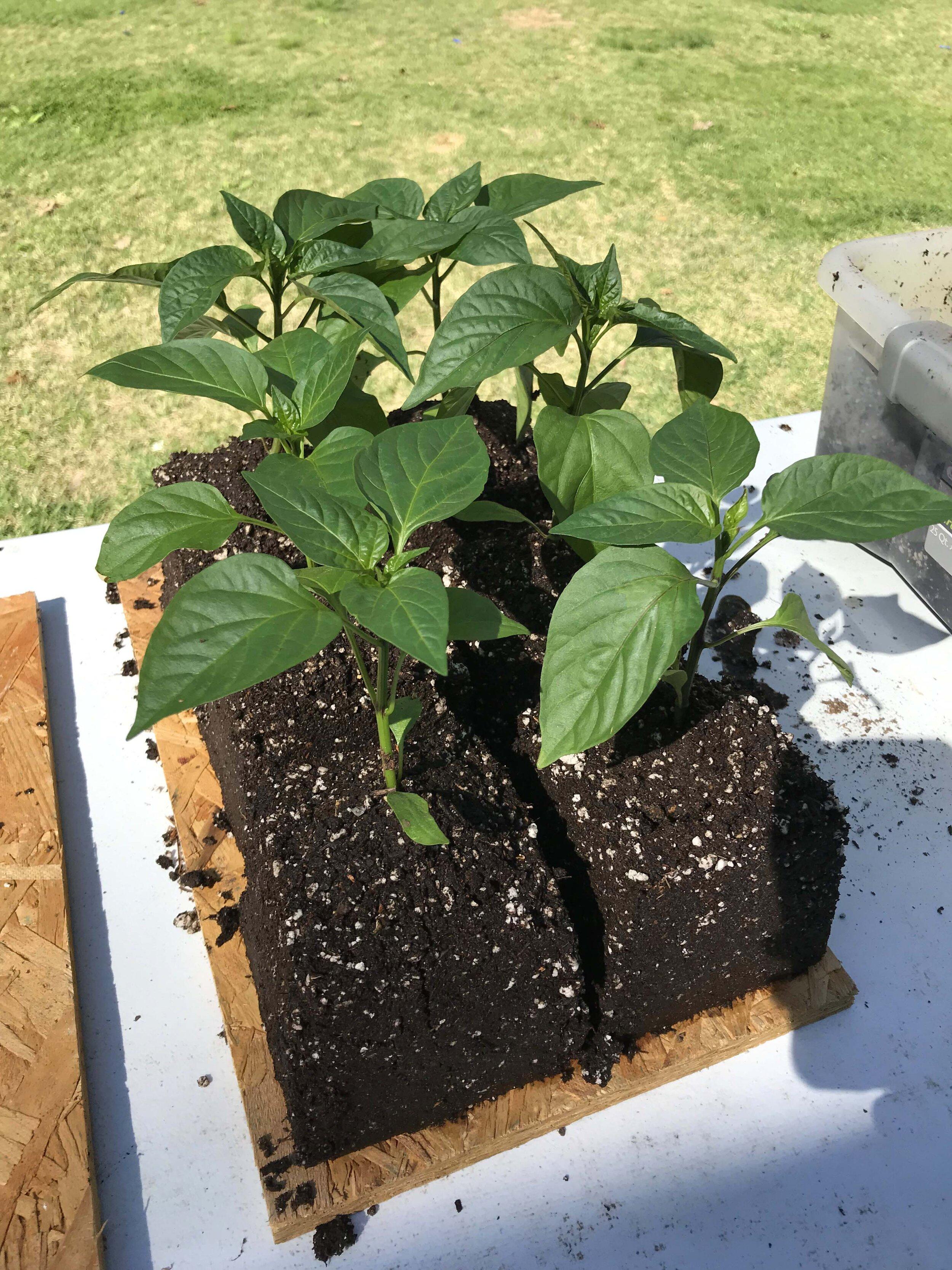Soil Block Peppers.jpg