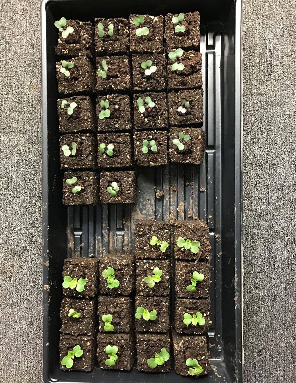 Cabbage Seedlings indoors