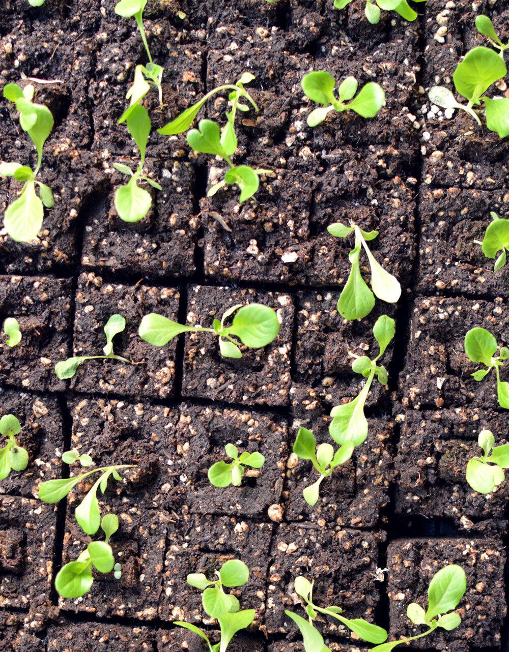 2-Inch-soil-blocks-lettuce.jpg