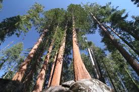 tallest trees.jpg