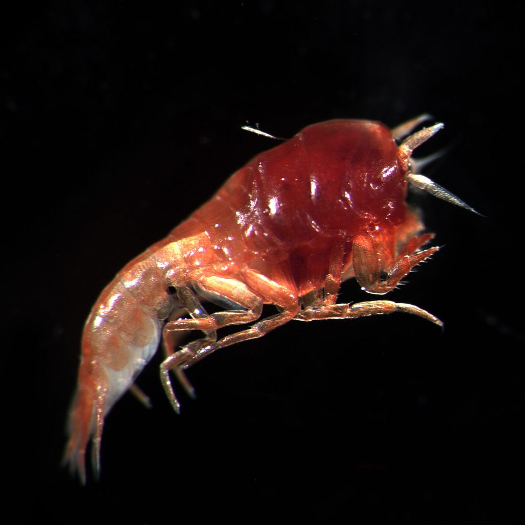 One of the deep sea creatures from the Carbon 14 study. Here's a link to the rather dumbed-down Smithsonian article:  https://www.smithsonianmag.com/science-nature/particles-cold-war-nuclear-bomb-testing-found-amphipods-mariana-trench-180972078/