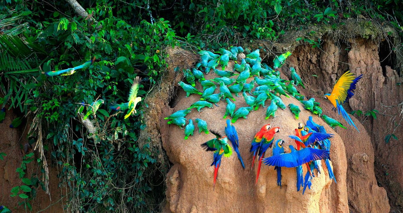 Tambopata - Explore la increíble reserva de Tambopata adentrada en la selva amazónica hacia una aventura única.Conozca la vida salvaje de la jungla en un tour de 3 días que incluye caminatas diurnas y nocturnas dentro de ella, paseos en bote, pesca de pirañas, exploración de la vida silvestre local; como perezosos, monos, aves, caimanes y muchos otros animales únicos.