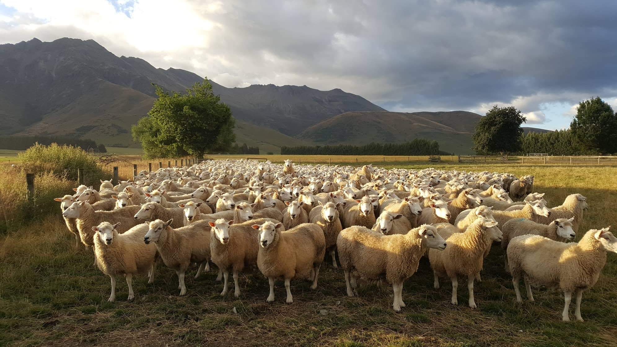 Photo by Tracey Ruddenklau as she looks out over a flock of her organically raised sheep.