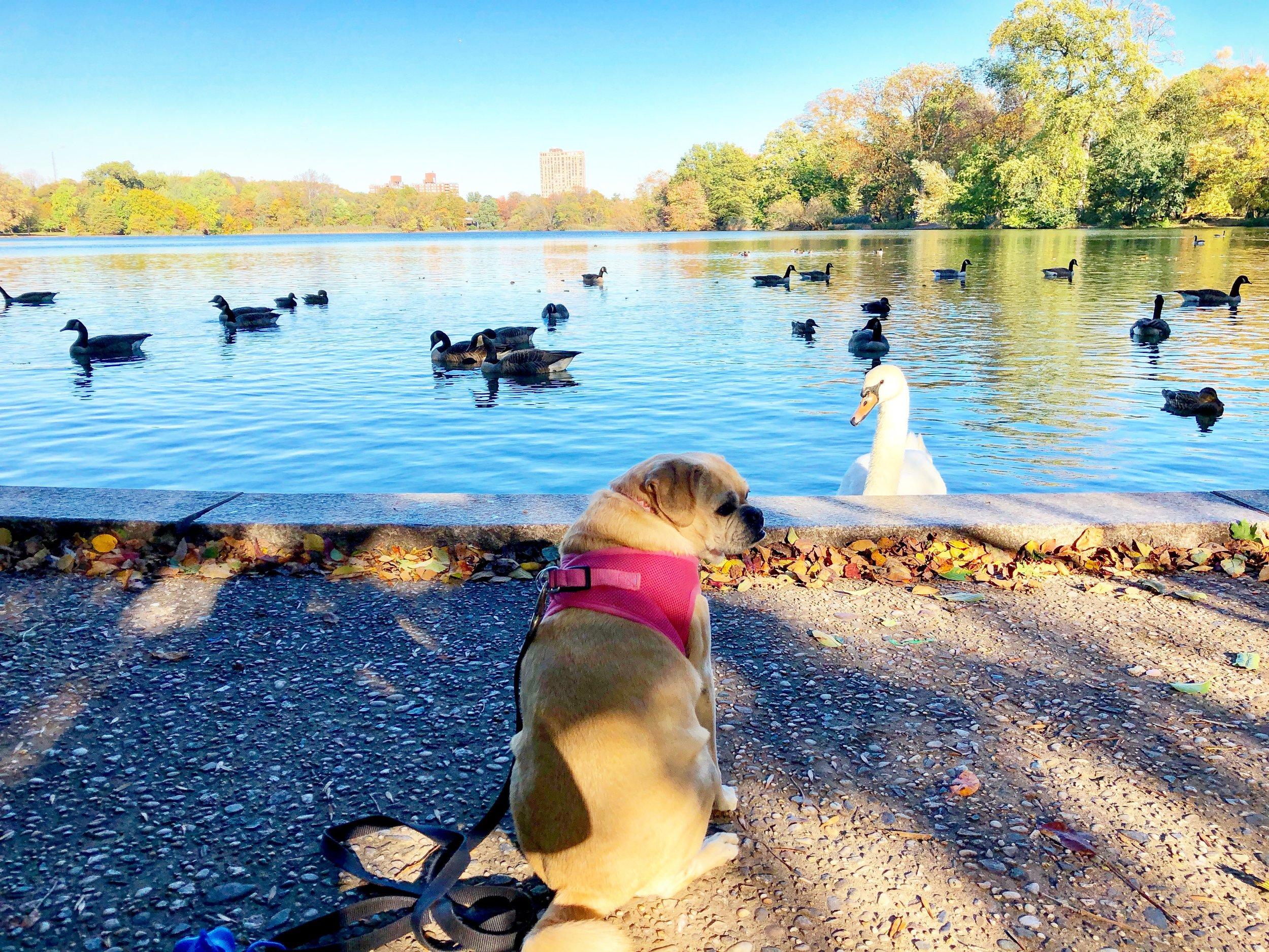 Swan Lake (Prospect Park 11/2017)