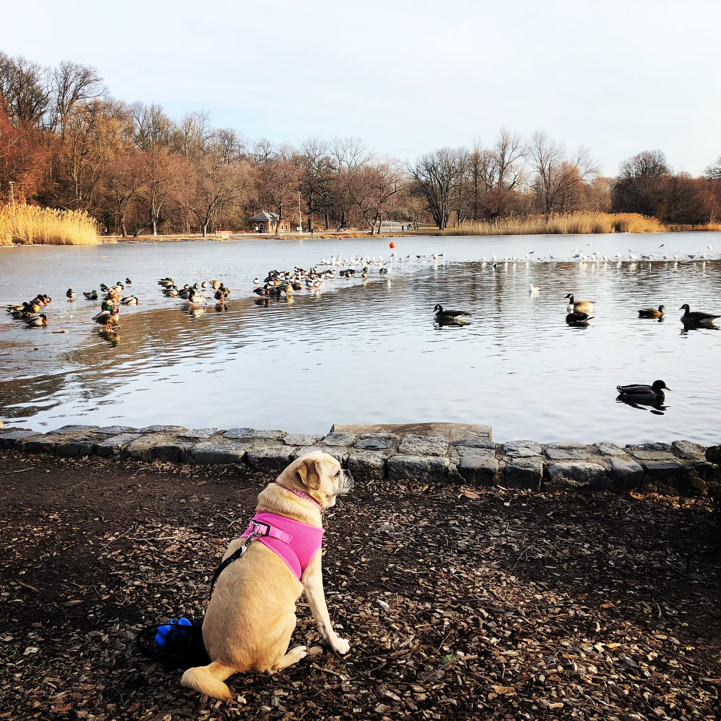 Duck 🦆 duck 🦆 duck 🦆 duck 🦆 ... (Propsect Park 1/2018)