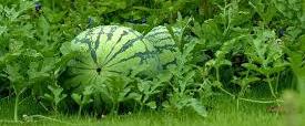 melon5.png